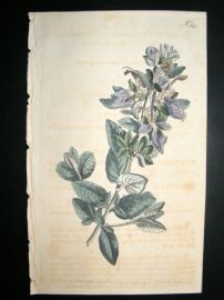 Curtis 1793 Hand Col Botanical Print. Broad Leaved Shrubby Germander 245